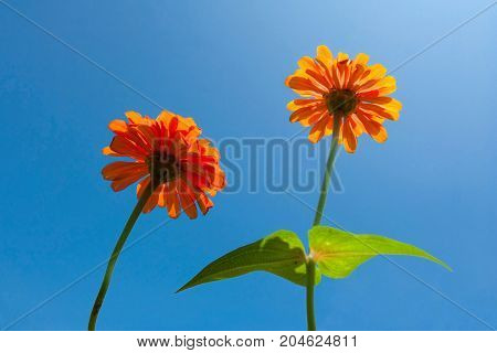 Orange Daisy Flower in blue sky - Stock Image