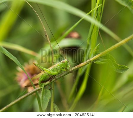 A Long-Winged Conchead bush cricket sitting on a grass stem at a nature reserve in Cranham