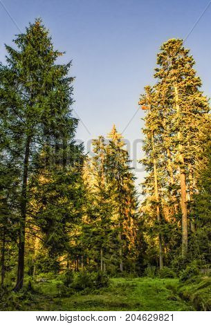 Sunlit firs in a forest. Bright sun on firs top. Beautiful view