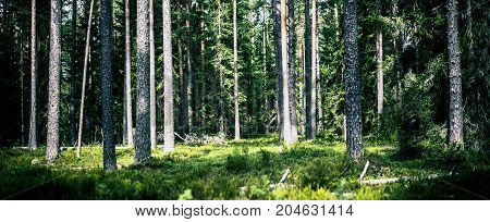 Ecology background. Clear wild forest summer panorama