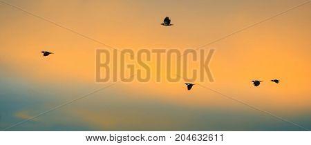 birds flying back home in sunset - Stock Image