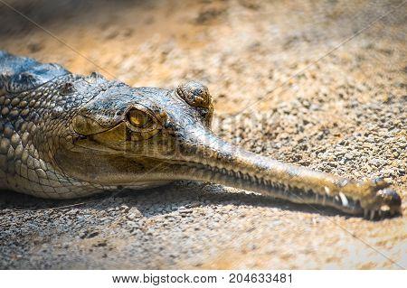 Alligator. Alligator on hunt. Aggressive Alligator in focus.