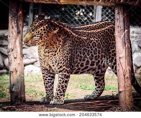 Leopard. Leopard looking towards old wood plank.