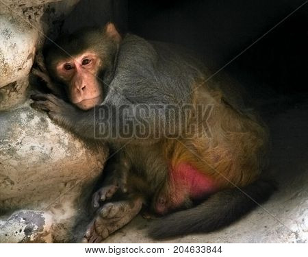 Monkey. Monkey feeling sad in its habitat and taking rest.