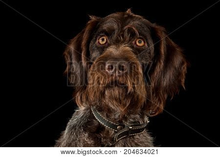 portrait of german wirehaired pointer on black background