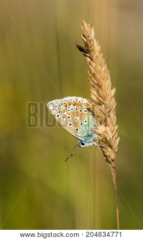A Common Blue Butterfly resting on some grass in a nature reserve in Cornwall UK