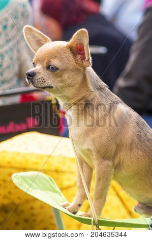 Chihuahua dog is standing on the table waiting for the haircut. Space under the text. 2018 year of the dog in the eastern calendar Concept: parodist dogs, dog friend of man, true friends, rescuers.