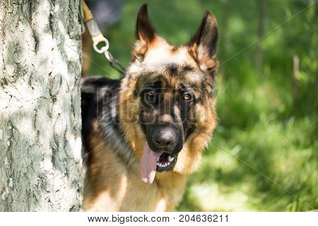 A dog tied to a tree in the open air .
