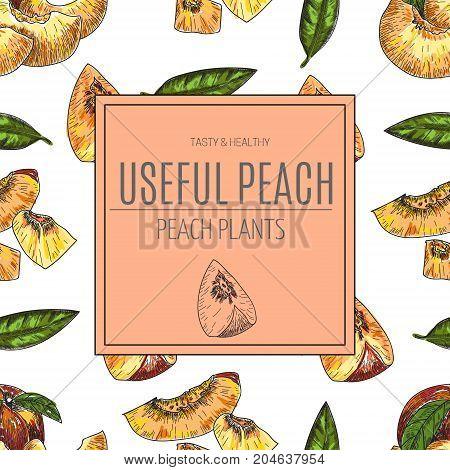 Hand drawn sketch style peach fruit. Ripe whole peach and peach quarter. fresh farm fruits vector illustration.