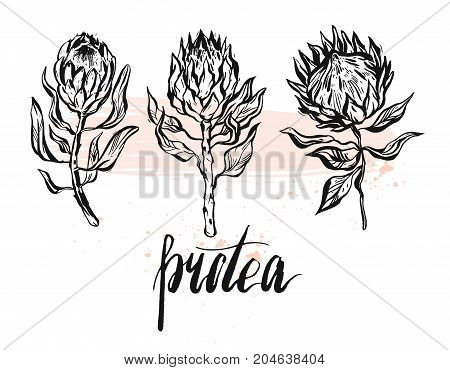 Hand drawn vector graphic floral set of ink protea flowers isolated on white background.Design decoration elements for greeting, save the date, birthday cards.