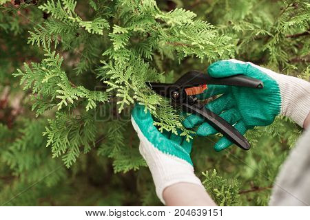 Cropped view of female gardening worker wearing protective gloves while trimming plants with scissors in greenhouse. Close up shot of male gardener pruning thuja shrubs using sharp secateurs