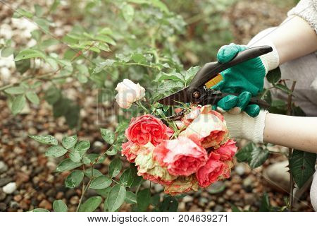 Cropped outdoor picture of gardening maintenance worker wearing gloves while pruning rose shrubs in garden cutting off faded stems of dead pink flowers using pruning hedge shears or secateurs
