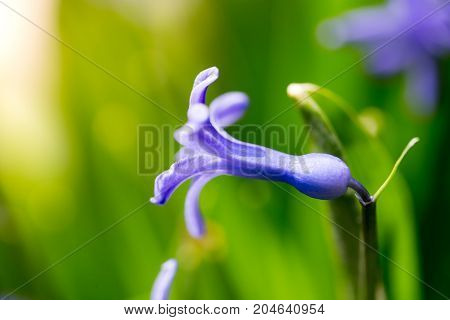 Beautiful blue flower in a park on nature. macro