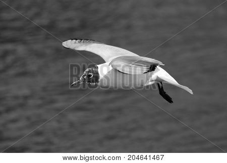 Black and White photo of a black headed gull flying over water
