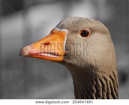 A close up portrait of a Graylag Goose