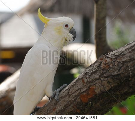 A Sulphur crested or yellow crested cockatoo