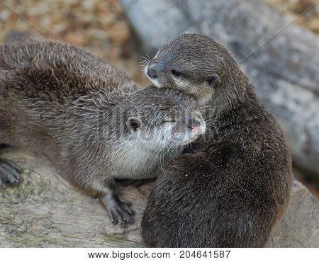 Two Otters seemingly cuddling up for warmth