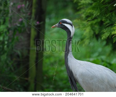 A Demoiselle Crane with a bright red eye