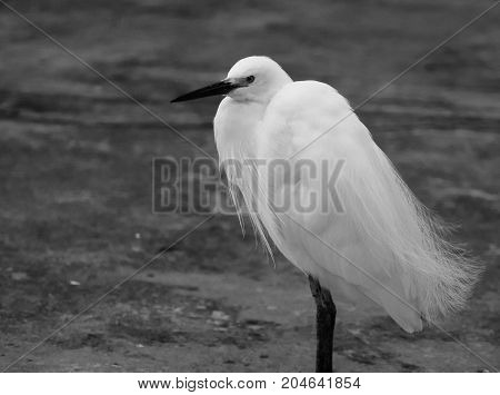 Black and white photo of a Little Egret