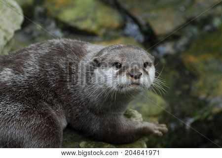 An Otter staring at the photographer from a rock