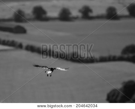 Black and white photo of a Carrion Crow flying over British Countryside