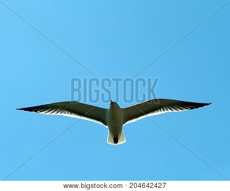 A gull flying in a clear blue sky