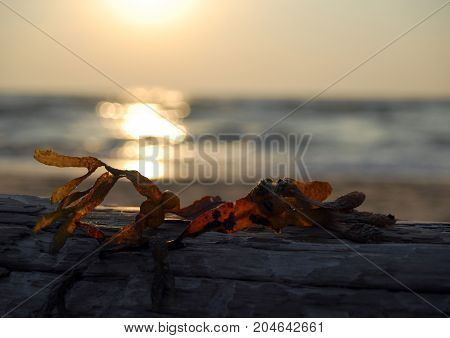 A piece of seaweed on Driftwood with the sea and sunset behind