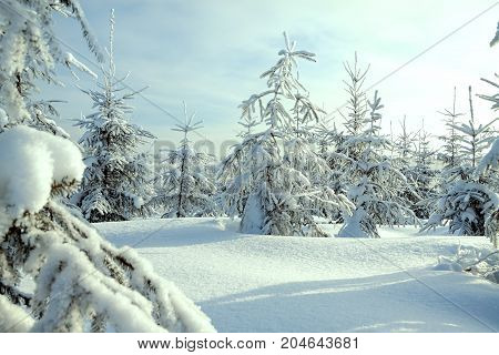 beautiful winter landscape with forestsnow and blue sky. Sunny frosty wintry day. Christmas and new year trees covered with snow in winter forest