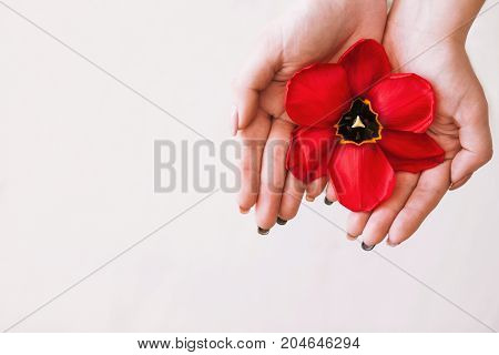 Femininity background. Women health care on white backdrop top view. Tulip red flower closeup with free space, unrecognizable lady, female period, womanhood concept