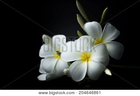 White Plumeria or frangipani in black background theme