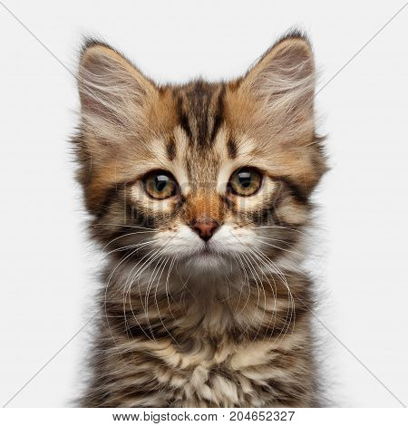 Portrait of Tabby Siberian kitten amazement looking at camera on isolated white background, front view