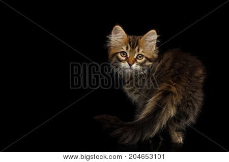 Playful Tabby Siberian kitten standing and looking back on isolated black background, side view