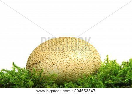 Common earthball (Scleroderma citrinum) also called earthball pigskin poison puffball common earth ball - mushroom on green moss before white background