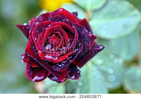 A dark red rose with drops of water on a stalk with green leaves