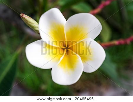 Top view and close-up image of blooming white Frangipani flower in garden