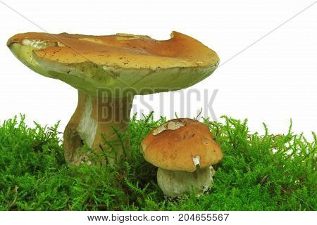 Cep in moss isolated before white background (Boletus edulis) - studio shot