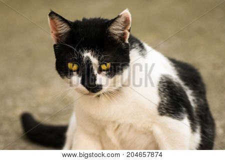 Black and white cat with yellow eyes is sitting.