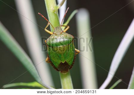 Shield bug is sitting on a plant stem. Animals in wildlife.