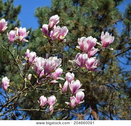 Pink flowers of the tulip tree in spring