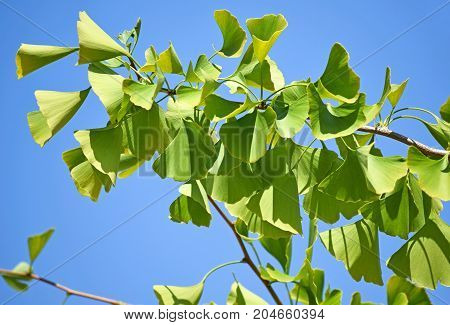 Ginkgo tree leaves against blue sky in summer