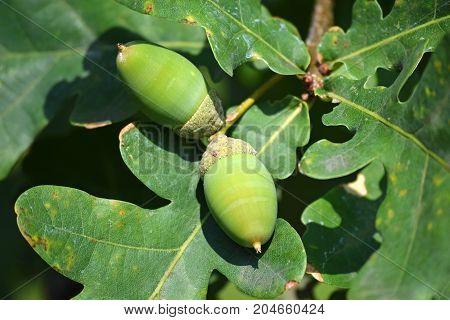 Oak tree acorns in the tree in summer