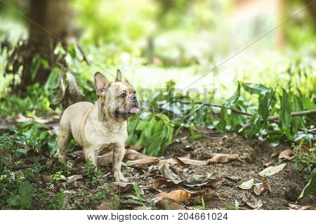 Happy brown french bulldog playing on the green grass field looking for friend warm feeling and warm light