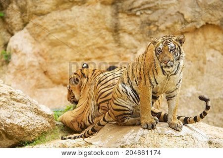 Two adult Indochinese tigers. The Indochinese tiger (Panthera tigris corbetti) is a tiger subspecies found in the Indochina region of Southeastern Asia.