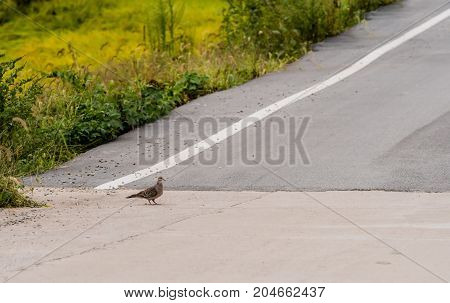 Lone Turtle Dove Standing On Road