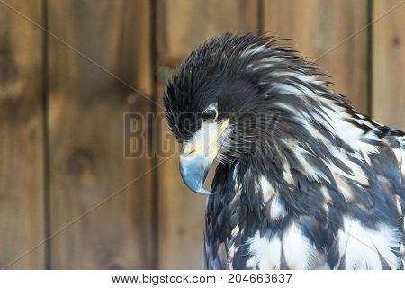 Portrait of a white tailed sea eagle, Haliaeetus Albicilla.