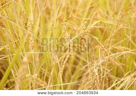 Ripe rice spica crop field macro background