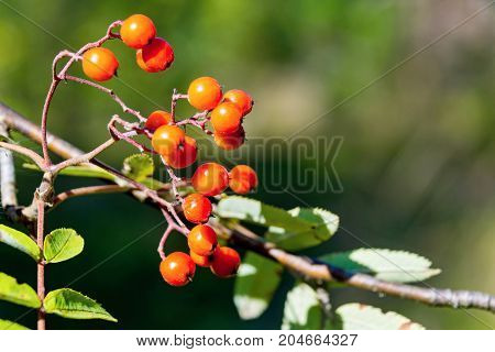 one wild bush of a ripe red mountain ash or rowan closeup in the foreground and on an indistinct background