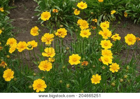 Yellow Flower Heads Of Lance Leaved Coreopsis Plant
