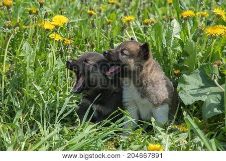 Two lovely charming puppies of Laika breed lie in green summer grass and whine or bark