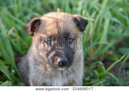 A pretty little puppy of Laiky breed lies in the green grass in summer